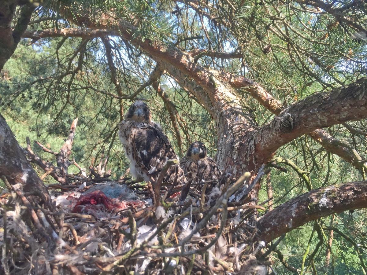 Gniazdo sokołów w gnieździe kani rudej w Nadleśnictwie Chojna - 2016
