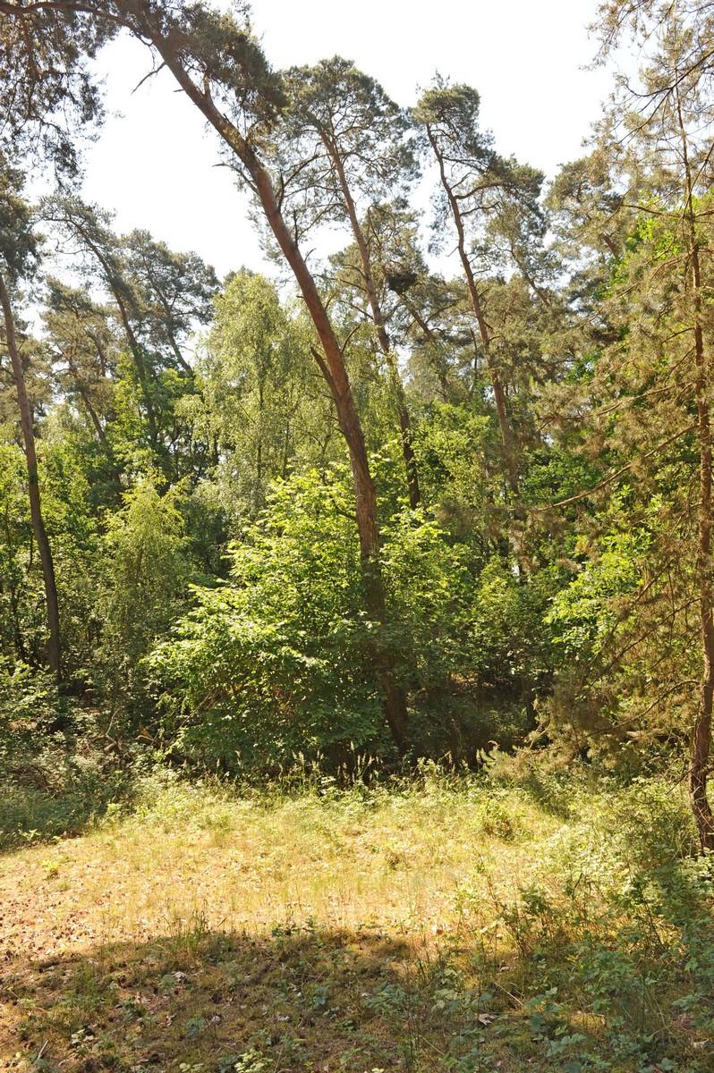 Gniazdo w Chojnie zlokalizowane jest na bardzo pochyłym drzewie- 2016