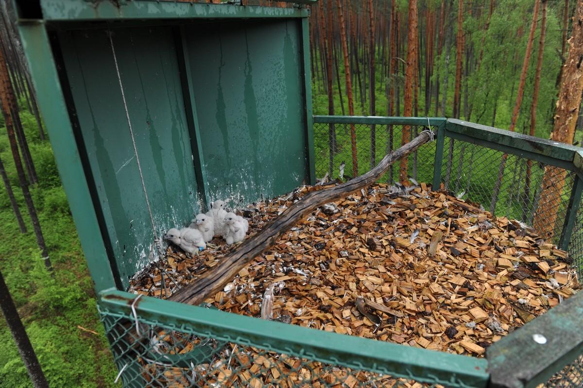 W Nadleśnictwie Nowe Ramuki sokoły ze sztucznego gniazda ponownie przeniosły się do gniazda reintrodukcyjnego - 2016