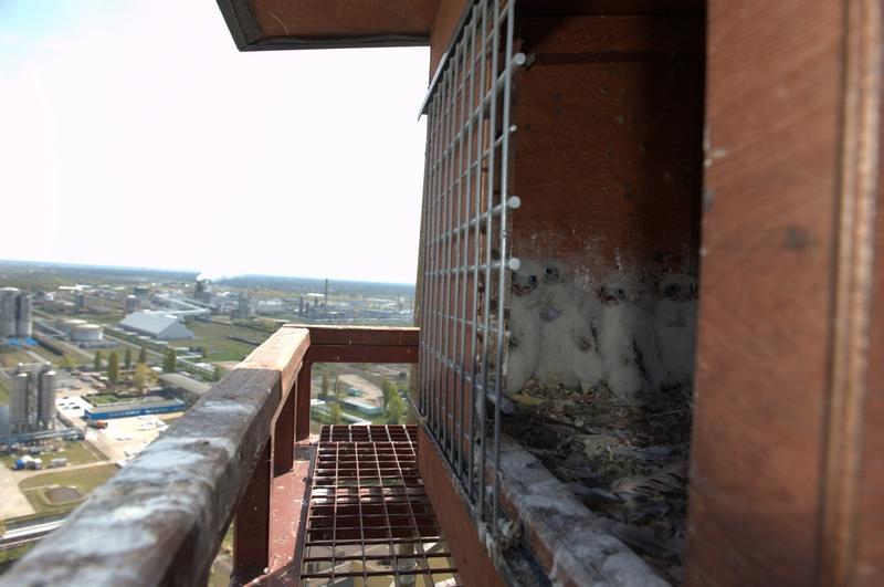 Włocławek, zakłady ANWIL - jedno z najstarszych stanowisk lęgowych sokoła w Polsce. Jest to również najwcześniej przystępująca para do lęgów, obrączkujemy tu sokoły już w kwietniu.