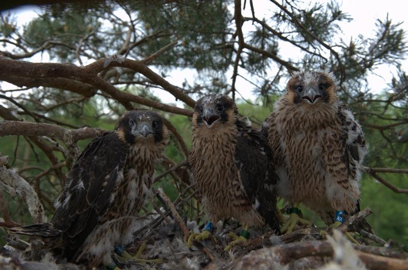 Nadleśnictwo Barlinek - trzecie stanowisko w tym nadleśnictwie. Po dwóch latach niepowodzeń w końcu udało się ptakom z powodzeniem wyprowadzić młode.