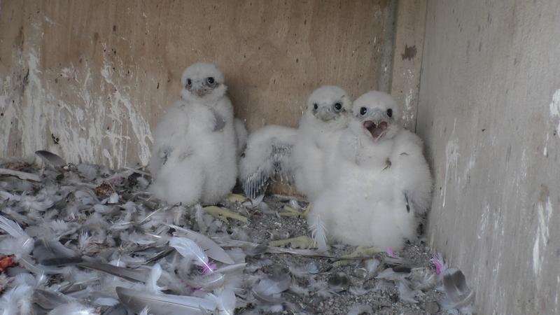 Ciepłownia w Inowrocławiu - jedna z nowych par w tym roku. Sokoły w tym miejscu obserwowaliśmy już wiele lat, dopiero jednak w tym roku, po zmianie samca, ptaki przystąpiły do lęgu.
