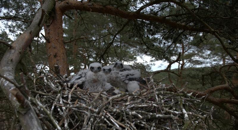 Nadleśnictwo Trzebież - ptaki przeniosły się w nowe miejsce.