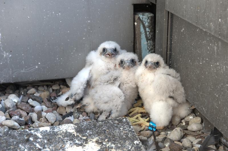 Warszawska para z PKiN z powodu remontu iglicy i zamknięcia ich gniazda przeniosły się na pobliski budynek WTT