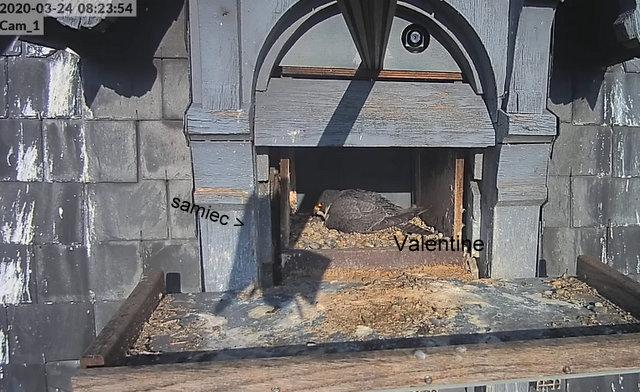 Les faucons pèlerins d'Illkirch-Graffenstaden. Flashblack en Valentine. - Pagina 8 Przechwytywaniewtrybiepenoekranowym24.03.2020115224